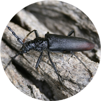 The Great Capricorn Beetle image