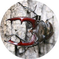 The Stag Beetle image